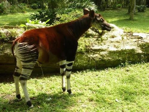 Okapi faune